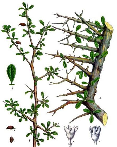 Smirna - planta